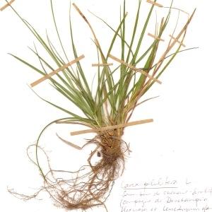 - Carex pilulifera L.