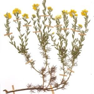Photographie n°55441 du taxon Genista hispanica L.