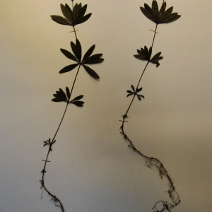 Photographie n°55515 du taxon Galium odoratum (L.) Scop. [1771]