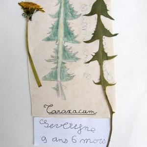 - Taraxacum officinale Weber [1780]