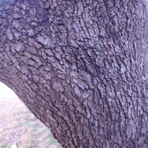 Photographie n°55649 du taxon Quercus ilex L. [1753]
