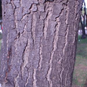 Photographie n°55652 du taxon Quercus ilex L. [1753]