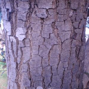 Photographie n°55656 du taxon Quercus ilex L. [1753]