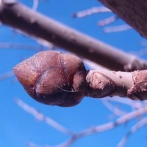 Photographie n°55672 du taxon Aesculus carnea Hayne