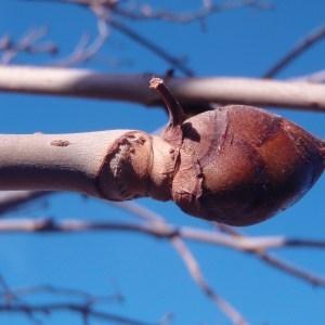 Photographie n°55674 du taxon Aesculus carnea Hayne