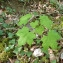Francis Vayeur - Acer platanoides L.