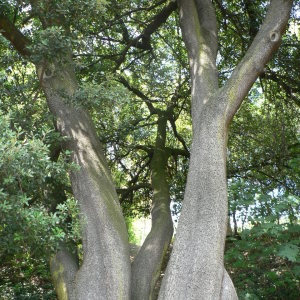 Photographie n°55779 du taxon Quercus ilex L. [1753]