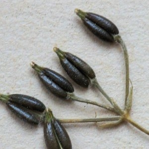 Photographie n°55914 du taxon Anthriscus caucalis var. gymnocarpa (Moris) Cannon