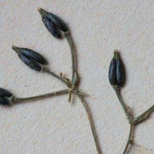Anthriscus caucalis var. gymnocarpa (Moris) Cannon