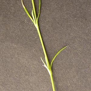Photographie n°56149 du taxon Minuartia hybrida subsp. tenuifolia (L.) Kerguélen [1993]
