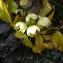 Liliane Roubaudi - Helleborus lividus subsp. corsicus (Briq.) P.Fourn.