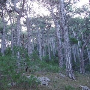 Photographie n°56314 du taxon Pinus nigra subsp. salzmannii (Dunal) Franco