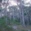 Jean René Garcia  - Pinus nigra subsp. salzmannii (Dunal) Franco