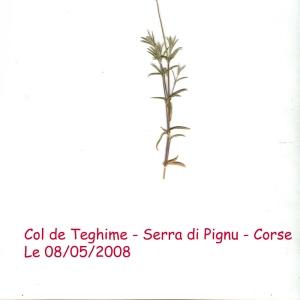 Photographie n°56327 du taxon Cerastium boissierianum Greuter & Burdet [1984]