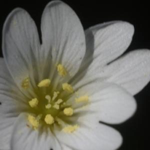 Cerastium boissierianum Greuter & Burdet (Céraiste)