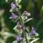 Bertrand BUI - Echium vulgare subsp. pustulatum (Sm.) Bonnier & Layens [1894]