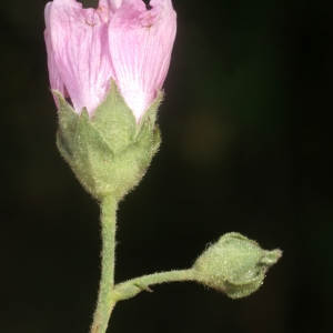 Photographie n°56388 du taxon Althaea cannabina L. [1753]