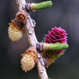 Photographie n°56423 du taxon Larix decidua Mill.
