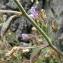 Catherine MAHYEUX - Chaenorhinum origanifolium (L.) Kostel. [1844]