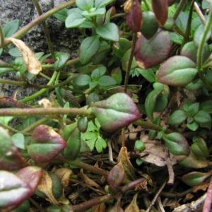 Photographie n°56466 du taxon Chaenorhinum origanifolium (L.) Kostel. [1844]