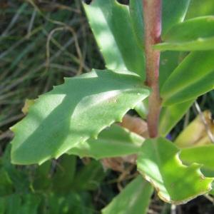 Photographie n°56469 du taxon Sedum telephium L.