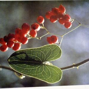 Photographie n°56486 du taxon Smilax aspera L. [1753]