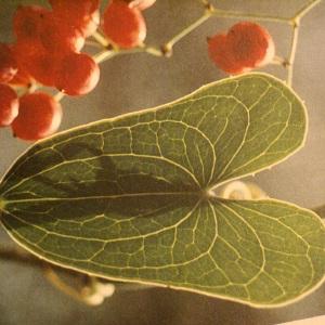 Photographie n°56487 du taxon Smilax aspera L. [1753]