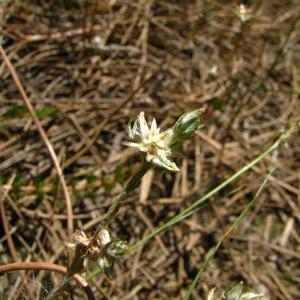 Photographie n°56545 du taxon Logfia minima (Sm.) Dumort. [1827]