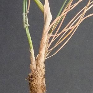 Photographie n°56554 du taxon Koeleria vallesiana (Honck.) Gaudin