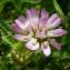 Bertrand BUI - Trifolium resupinatum L.