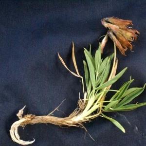 Photographie n°56581 du taxon Trifolium alpinum L.
