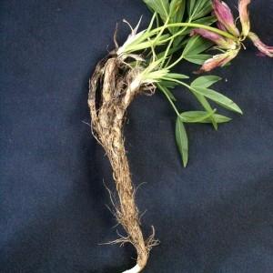 Photographie n°56584 du taxon Trifolium alpinum L.