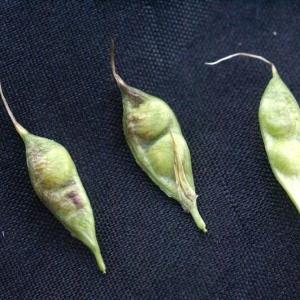 Photographie n°56586 du taxon Trifolium alpinum L.