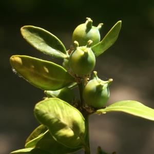 Photographie n°56597 du taxon Buxus sempervirens L.