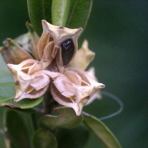 Photographie n°56598 du taxon Buxus sempervirens L.