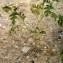 Liliane Roubaudi - Solanum rostratum Dunal