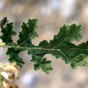 Solanum rostratum Dunal (Morelle)