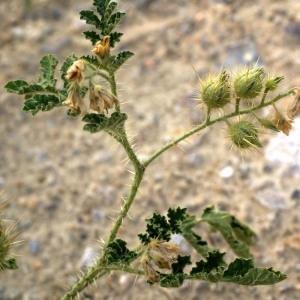 - Solanum rostratum Dunal