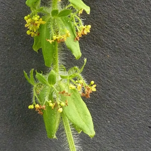 Photographie n°56758 du taxon Cruciata laevipes Opiz [1852]
