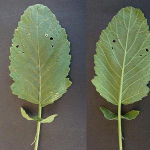 Photographie n°56759 du taxon Hirschfeldia incana (L.) Lagr.-Foss. [1847]