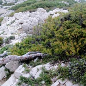 Photographie n°56775 du taxon Pinus halepensis Mill. [1768]