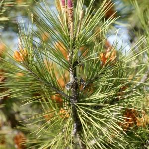 Photographie n°56779 du taxon Pinus halepensis Mill. [1768]