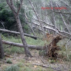 Photographie n°56780 du taxon Pinus halepensis Mill. [1768]