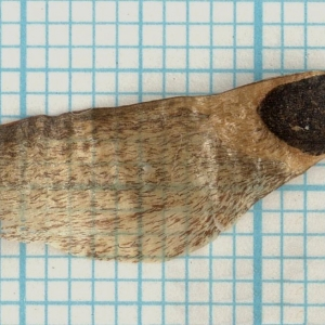 Photographie n°56784 du taxon Pinus halepensis Mill. [1768]