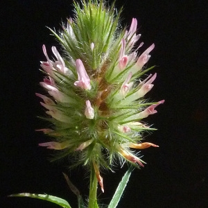 Photographie n°56873 du taxon Trifolium angustifolium L. [1753]
