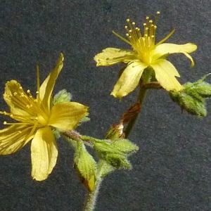 Hypericum tomentosum L. (Millepertuis tomenteux)