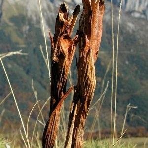 Photographie n°56904 du taxon Iris latifolia (Mill.) Voss