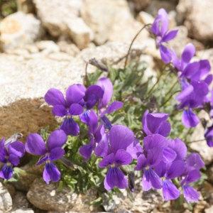 Viola diversifolia (Ging.) W.Becker (Pensée de Lapeyrouse)