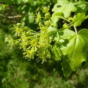 Acer campestre L. (Érable champêtre)