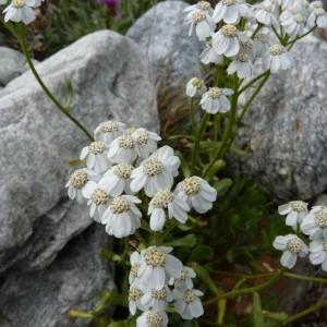 Photographie n°56959 du taxon Achillea erba-rotta All.